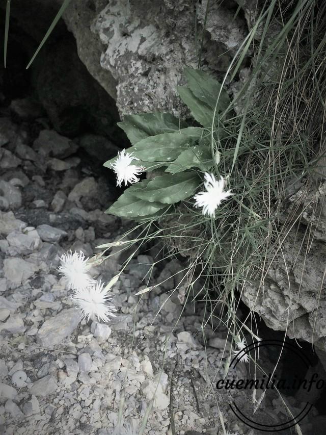 Cheile Sohodolului flori