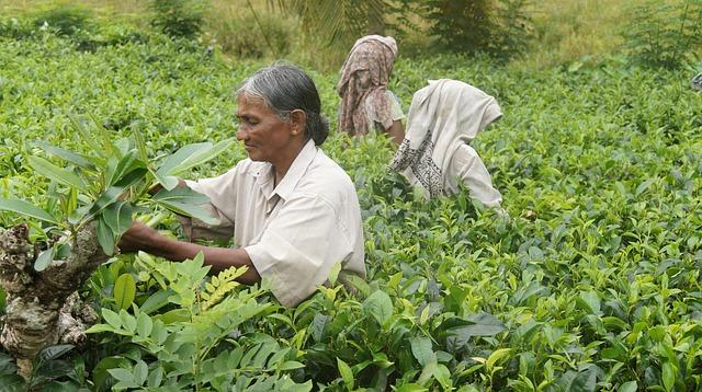 plantații de ceai verde